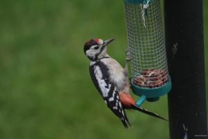 A juvenile Great Spotted Woodpecker hung around for ten minutes and was not camera shy!