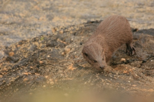 Snapped on the rocks after bringing a crab ashore.  Did you know Otters can remain under water for up to 4 minutes?