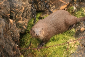 Hastily taken while lying on my stomach on a cliff edge.  Did you know they can also dive up to 300m in search of food?