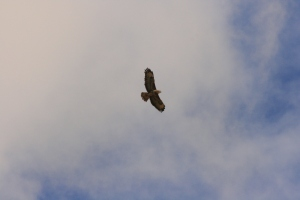 Spotted circling over our car as we explored Wauchope Forest in the Scottish Borders.