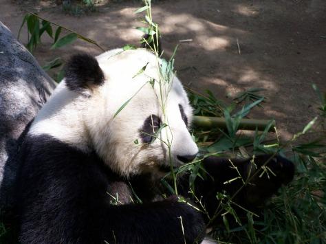 panda-662045_1280