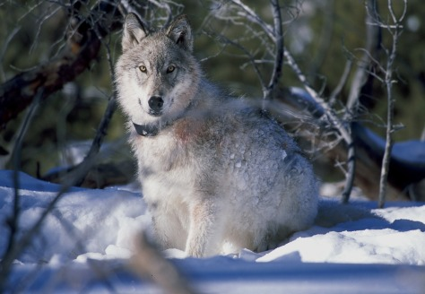 wolf-86624_1280