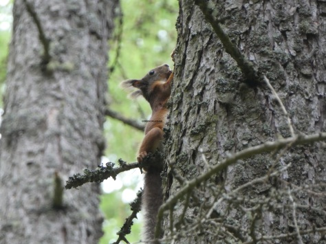 Spotted today in Cardrona Forest, in the Scottish Borders.