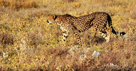 cheetah-1305792_1280